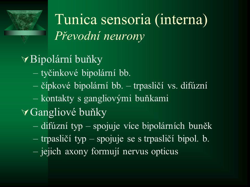 Tunica sensoria (interna) Převodní neurony