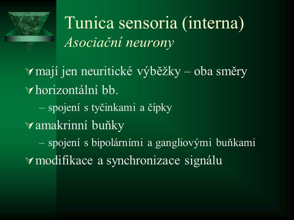 Tunica sensoria (interna) Asociační neurony