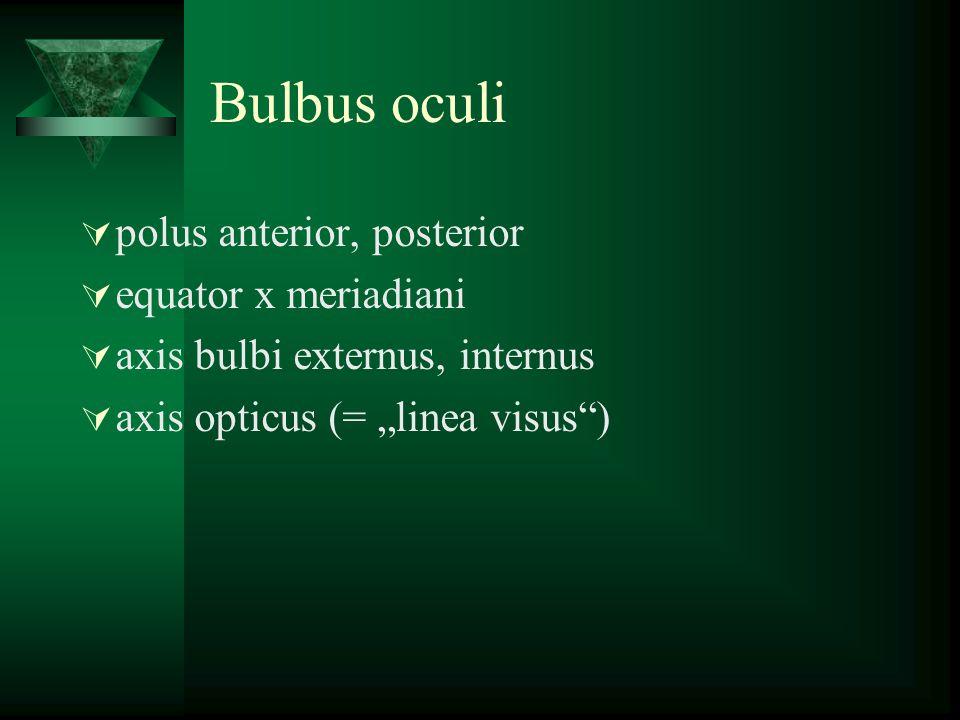 Bulbus oculi polus anterior, posterior equator x meriadiani