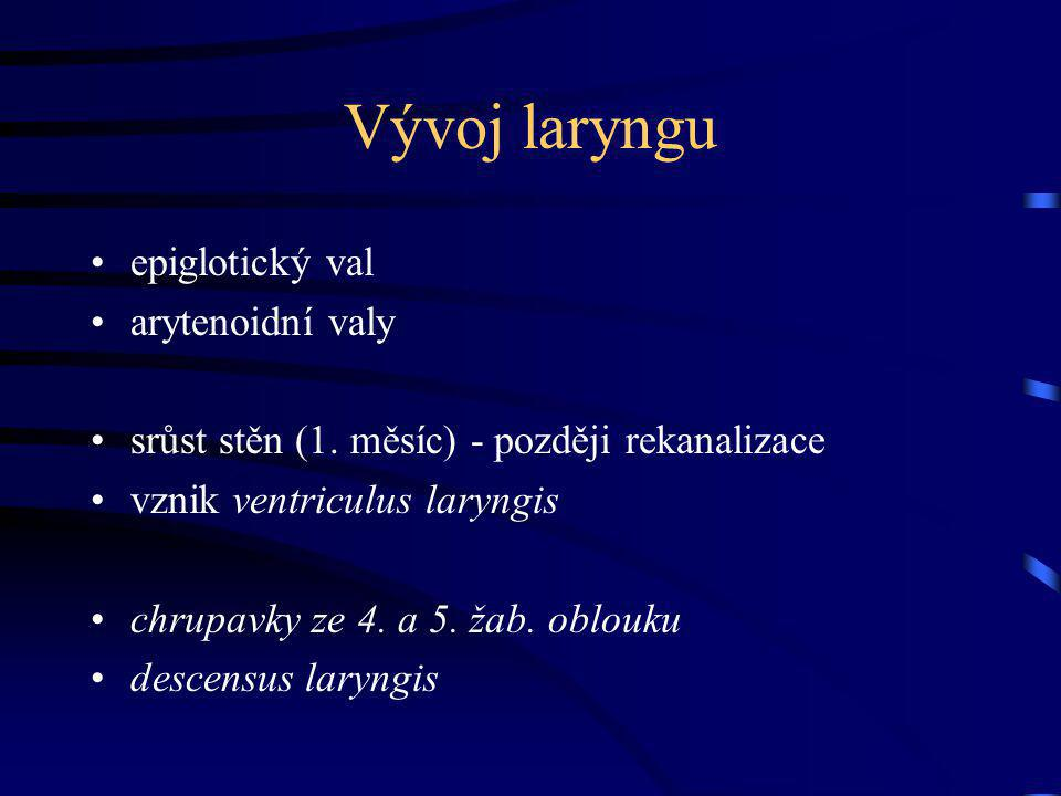 Vývoj laryngu epiglotický val arytenoidní valy
