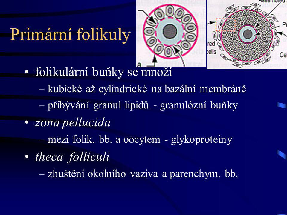 Primární folikuly folikulární buňky se množí zona pellucida