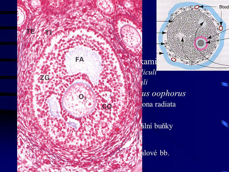 Sekundární folikuly dutinky mezi folikulárními buňkami