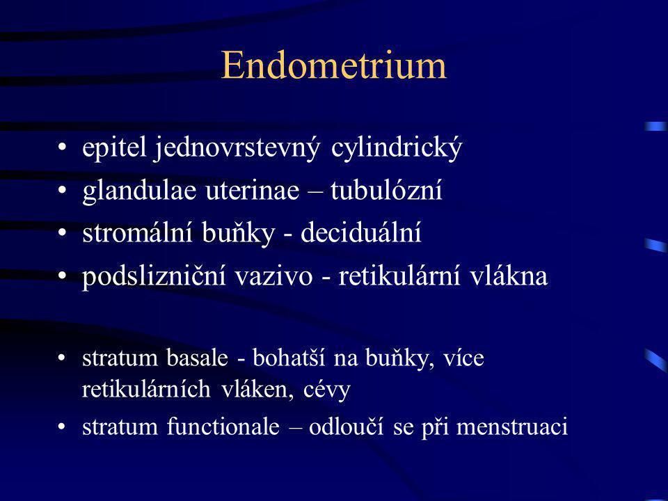 Endometrium epitel jednovrstevný cylindrický