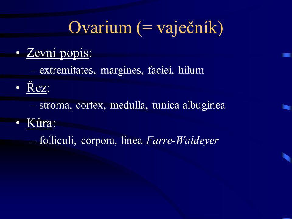 Ovarium (= vaječník) Zevní popis: Řez: Kůra: