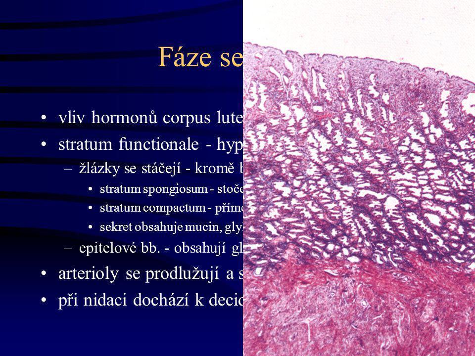 Fáze sekreční vliv hormonů corpus luteum