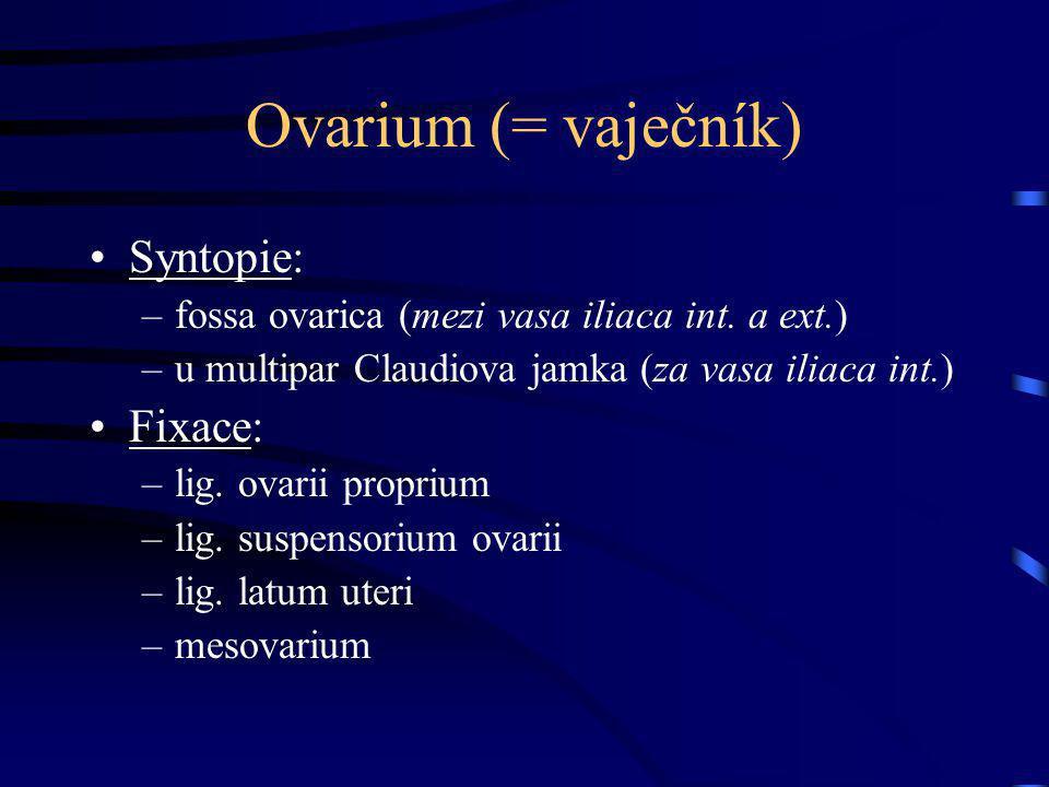 Ovarium (= vaječník) Syntopie: Fixace: