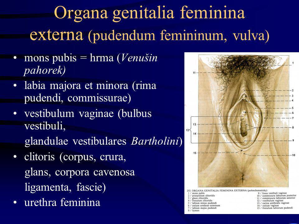 Organa genitalia feminina externa (pudendum femininum, vulva)