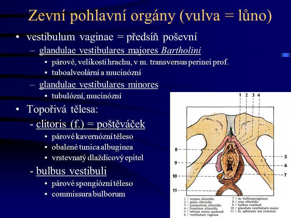 Zevní pohlavní orgány (vulva = lůno)