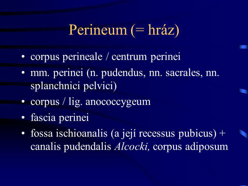 Perineum (= hráz) corpus perineale / centrum perinei