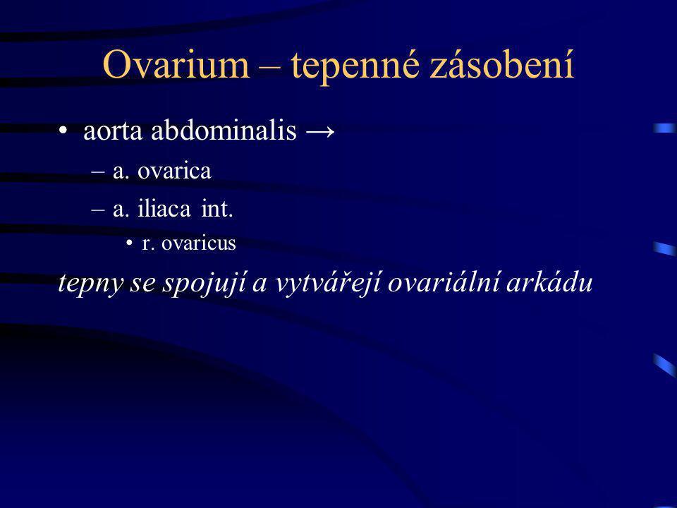 Ovarium – tepenné zásobení