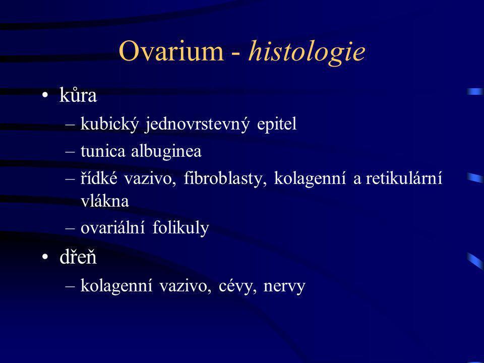 Ovarium - histologie kůra dřeň kubický jednovrstevný epitel