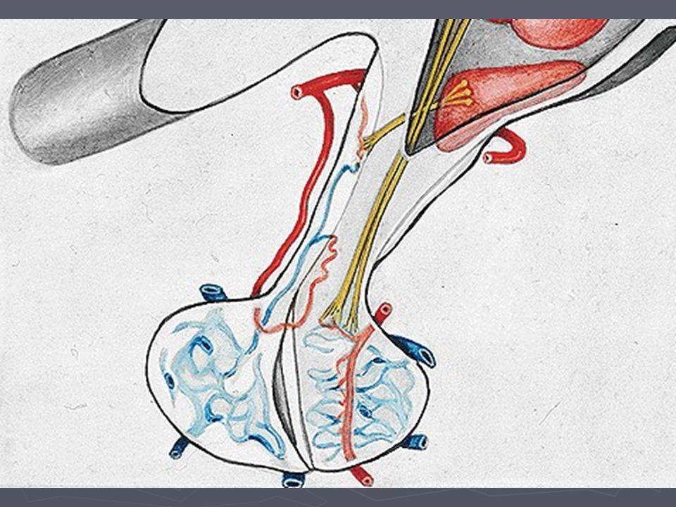 Hypofýza - anatomie Přední lalok – adenohypofýza