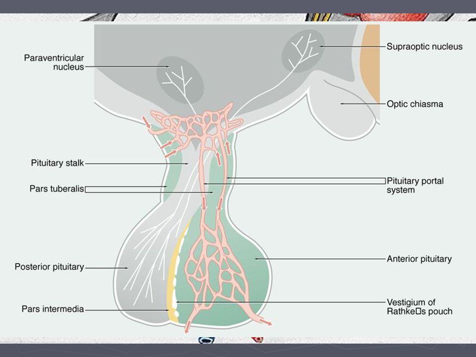 Cévní zásobení hypofýzy