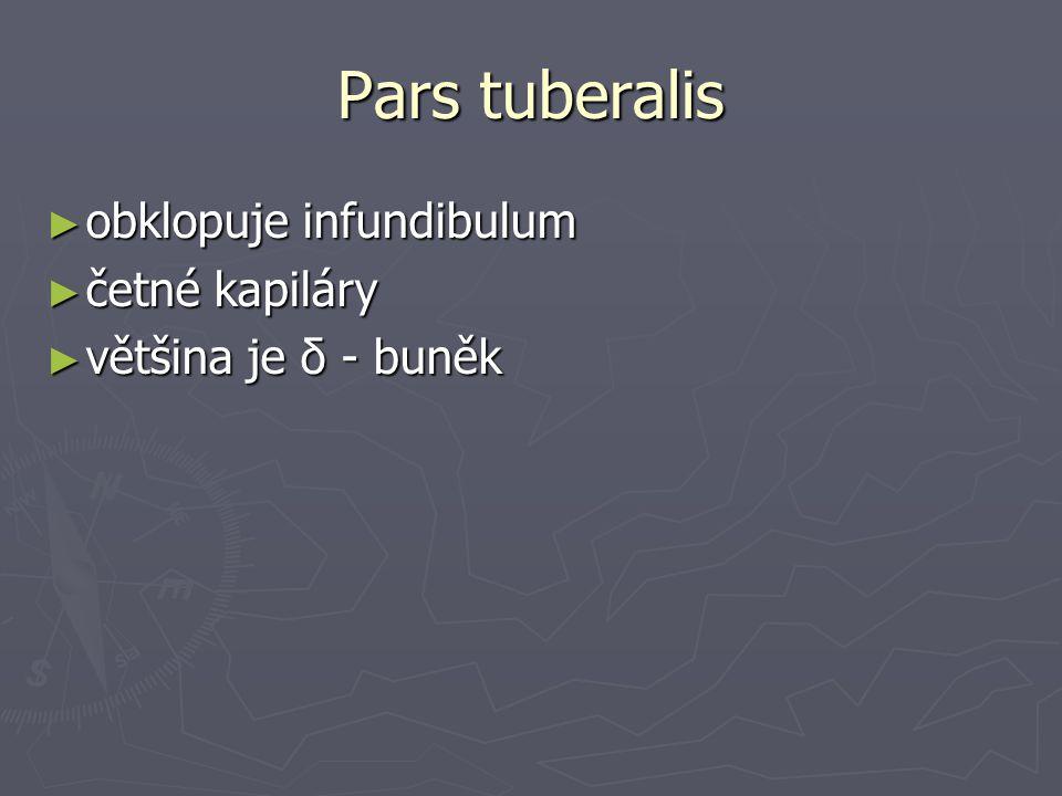 Pars tuberalis obklopuje infundibulum četné kapiláry