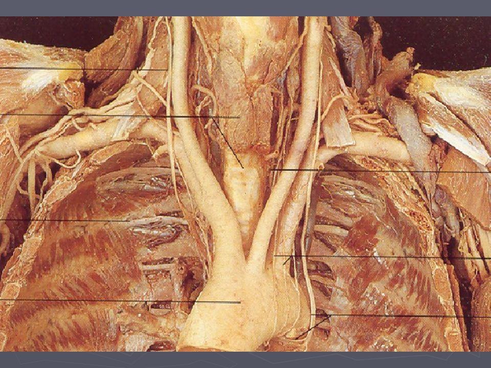 Štítná žláza – tepny a žíly