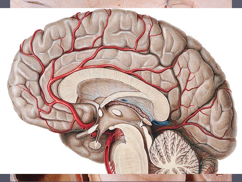 Hypothalamus Bazální část mezimozku (Diencephalon), bazálně od III. komory. Funkce. Sběrné centrum informací z těla i okolí.