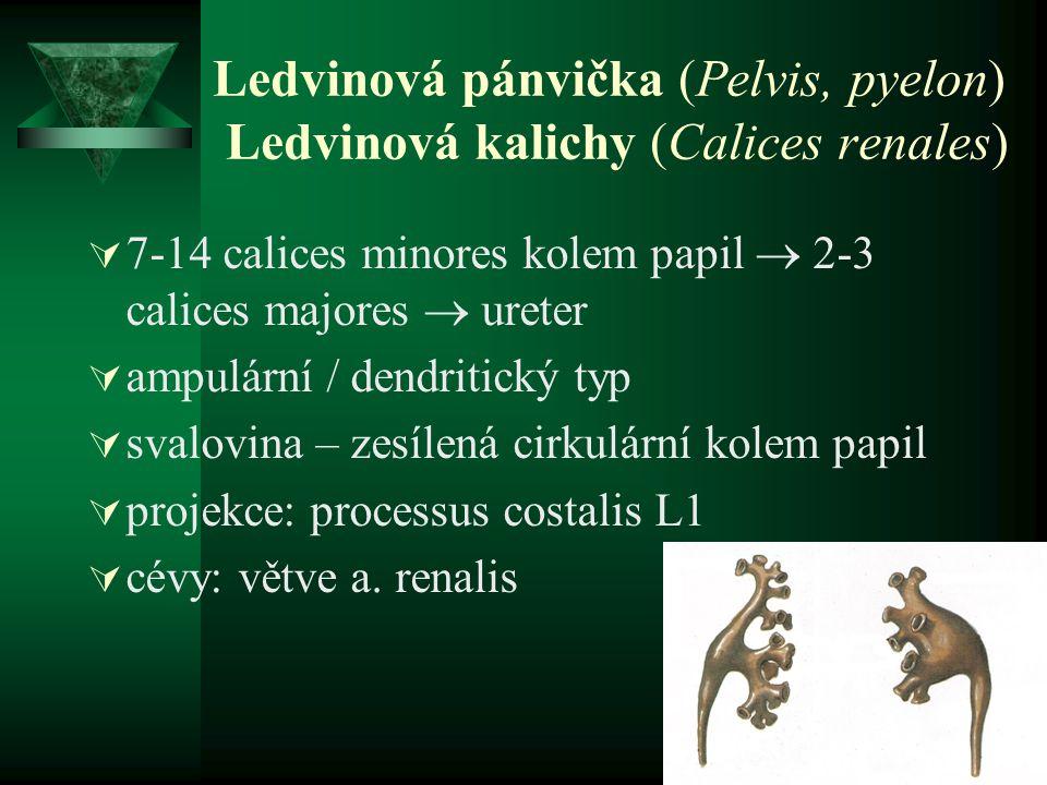 Ledvinová pánvička (Pelvis, pyelon) Ledvinová kalichy (Calices renales)