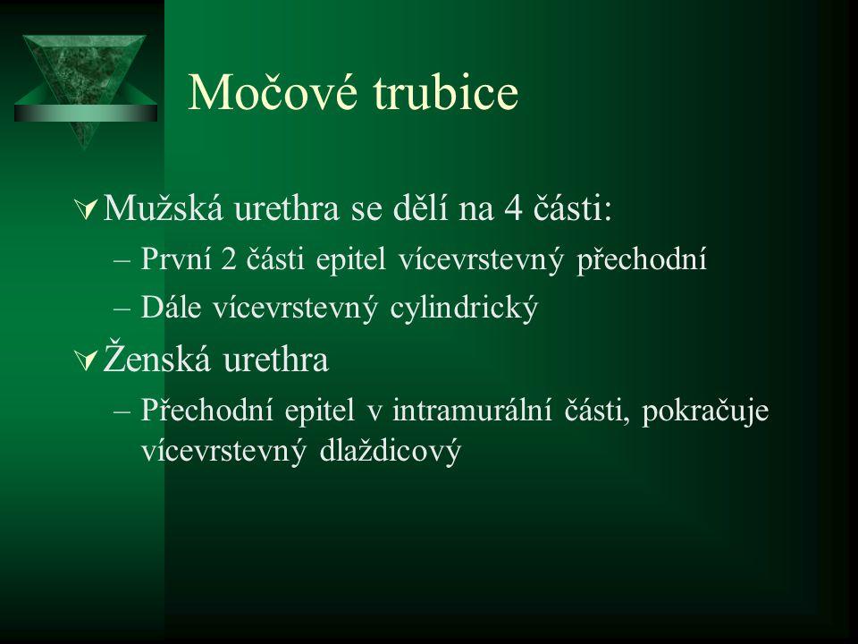 Močové trubice Mužská urethra se dělí na 4 části: Ženská urethra