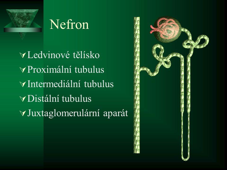 Nefron Ledvinové tělísko Proximální tubulus Intermediální tubulus