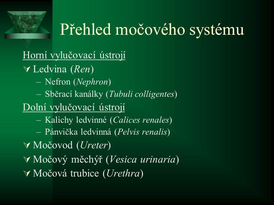 Přehled močového systému