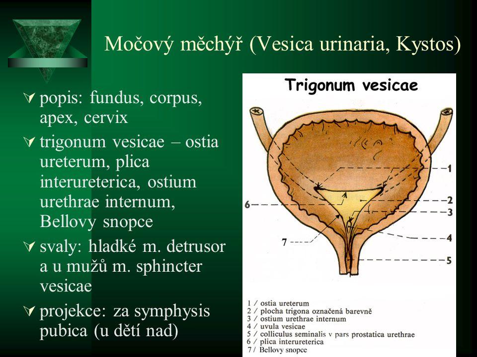 Močový měchýř (Vesica urinaria, Kystos)