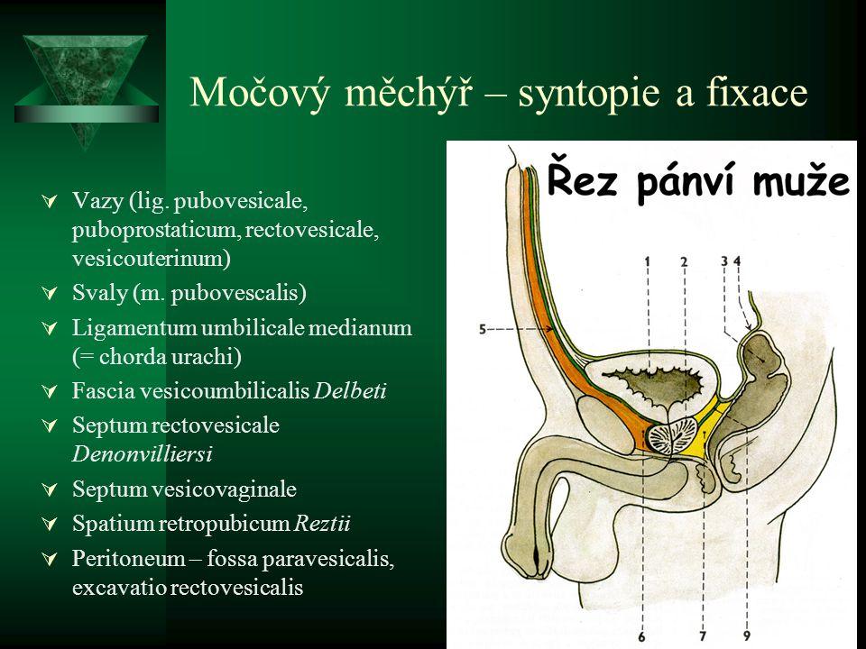 Močový měchýř – syntopie a fixace