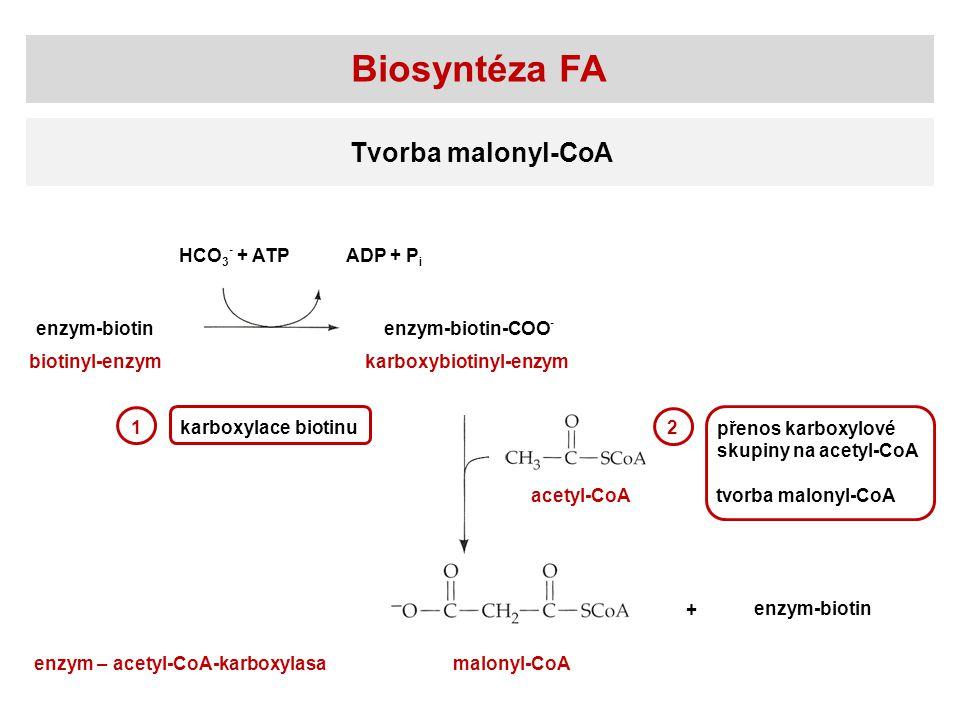 Biosyntéza FA Tvorba malonyl-CoA HCO3- + ATP ADP + Pi enzym-biotin