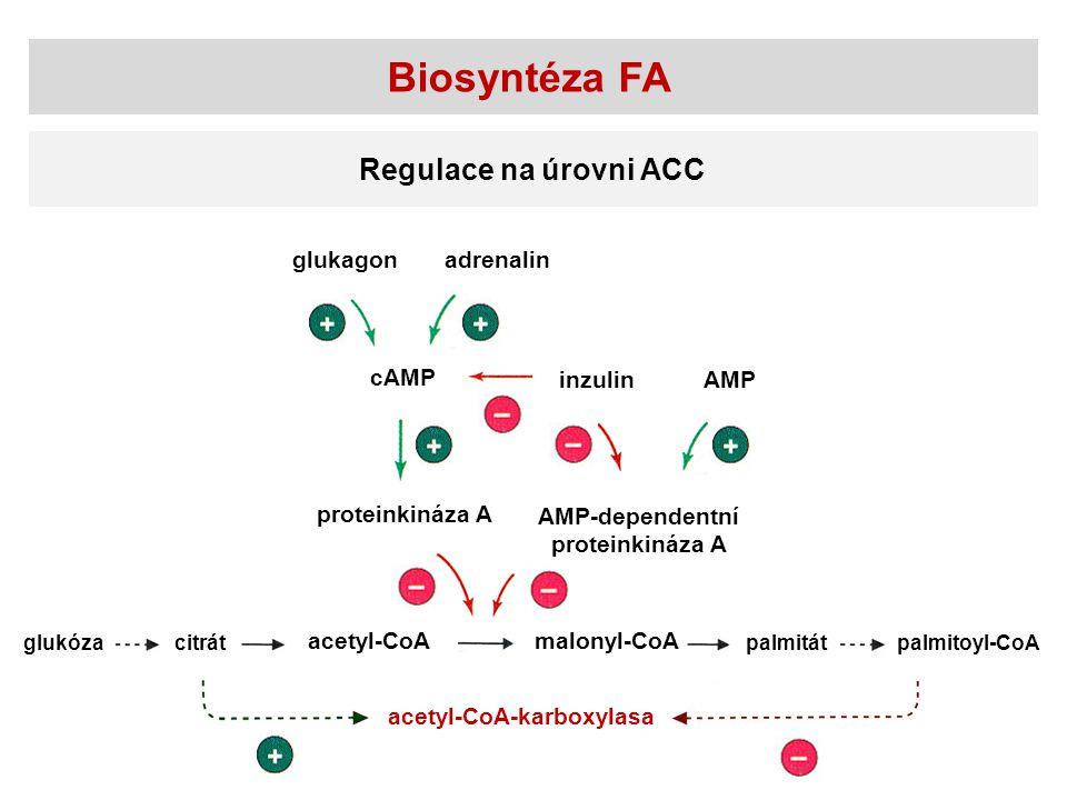 Biosyntéza FA Regulace na úrovni ACC glukagon adrenalin cAMP inzulin