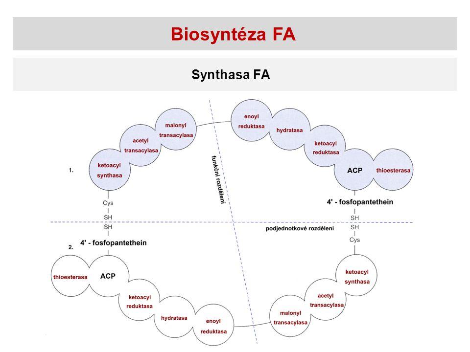 Biosyntéza FA Synthasa FA