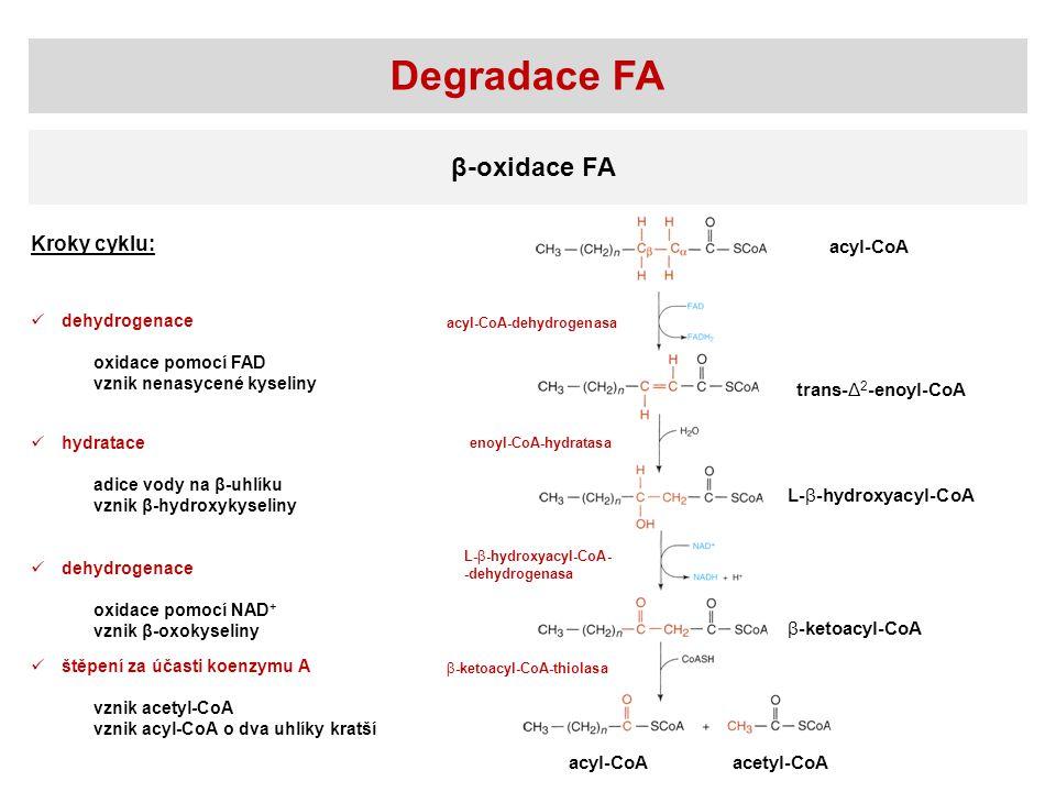 Degradace FA β-oxidace FA Kroky cyklu: acyl-CoA trans-Δ2-enoyl-CoA