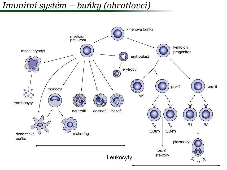 Imunitní systém – buňky (obratlovci)