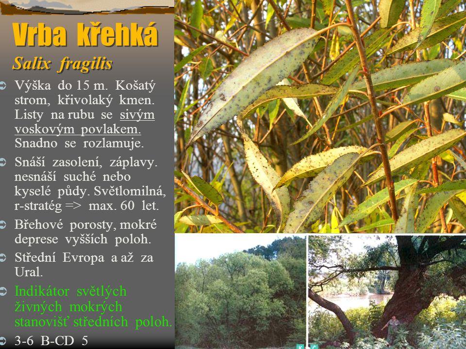 Vrba křehká Salix fragilis