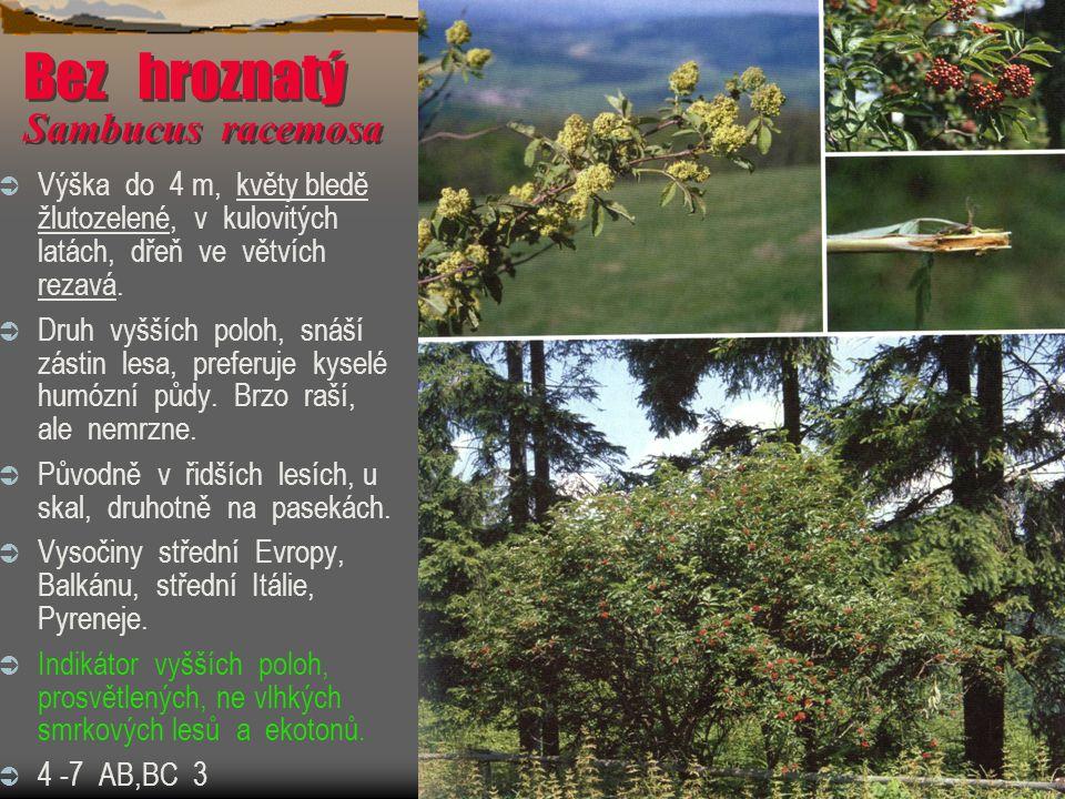Bez hroznatý Sambucus racemosa