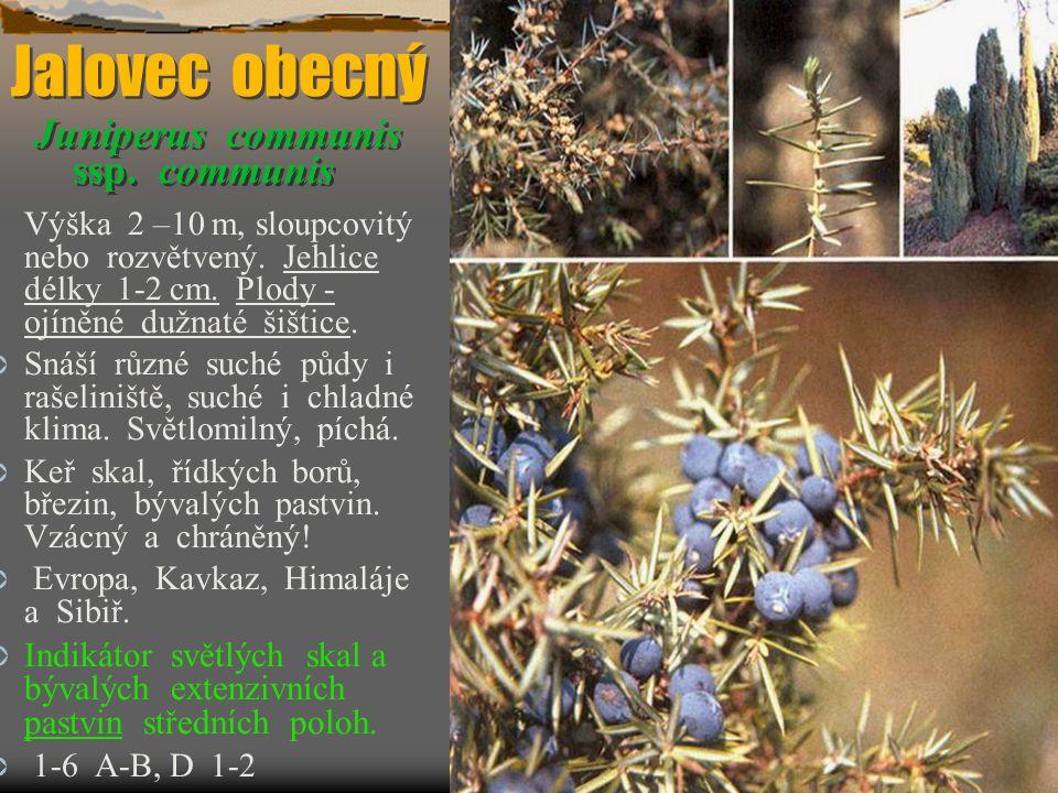 Jalovec obecný Juniperus communis ssp. communis