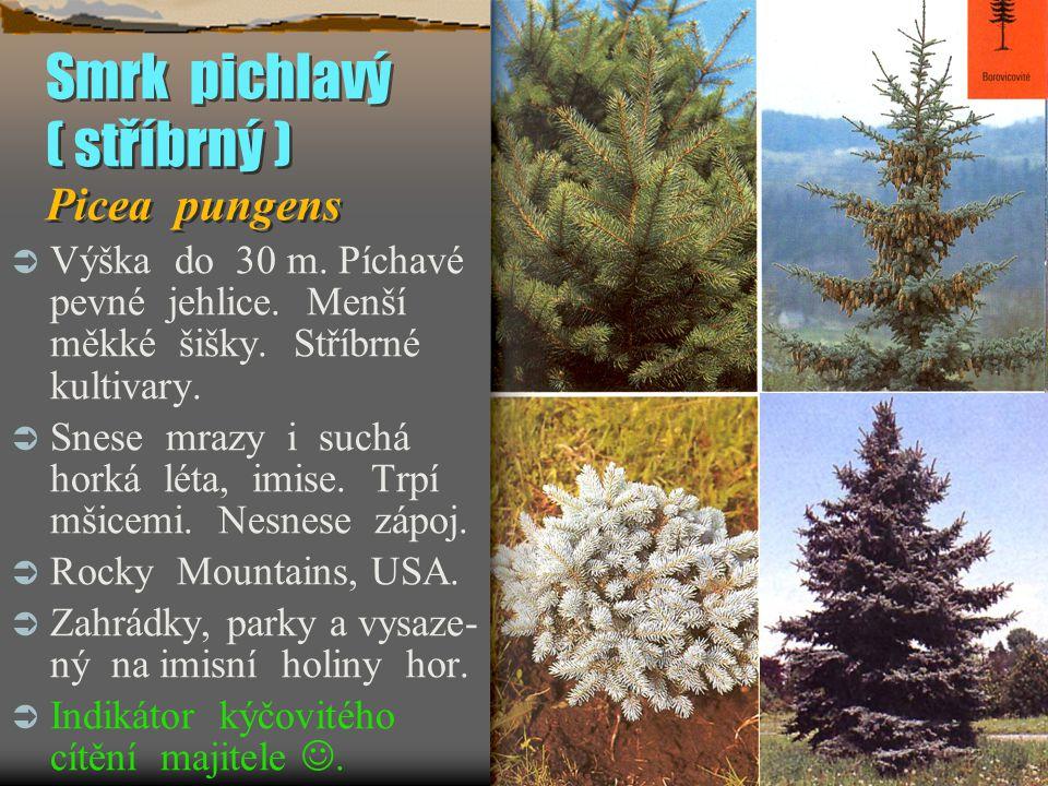 Smrk pichlavý ( stříbrný ) Picea pungens