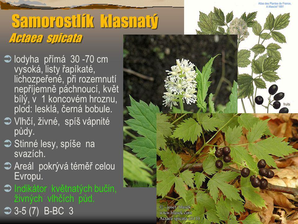 Samorostlík klasnatý Actaea spicata