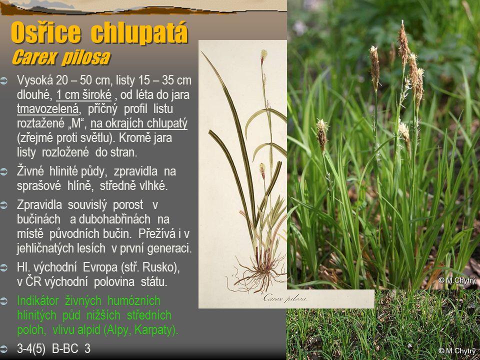 Osřice chlupatá Carex pilosa