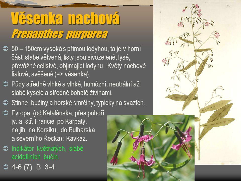 Věsenka nachová Prenanthes purpurea