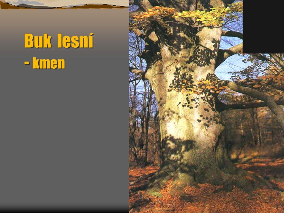 Buk lesní - kmen