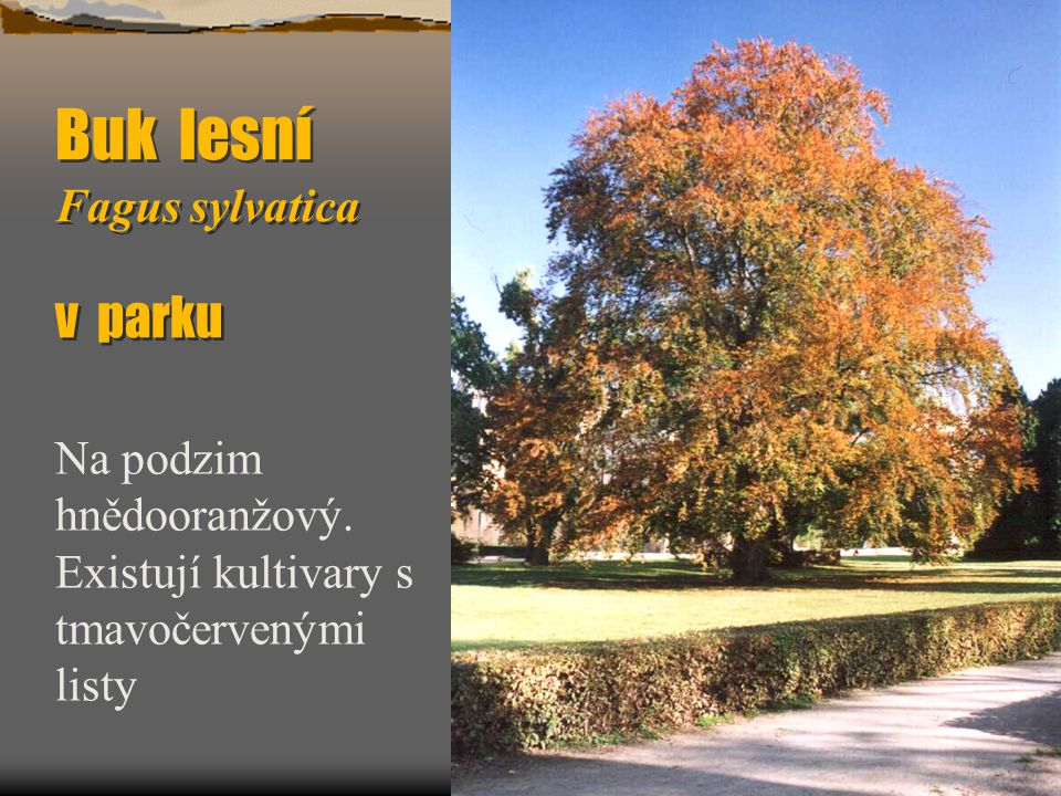 Buk lesní Fagus sylvatica v parku