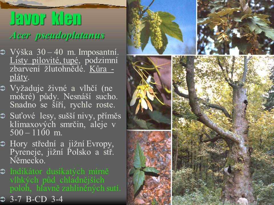 Javor klen Acer pseudoplatanus
