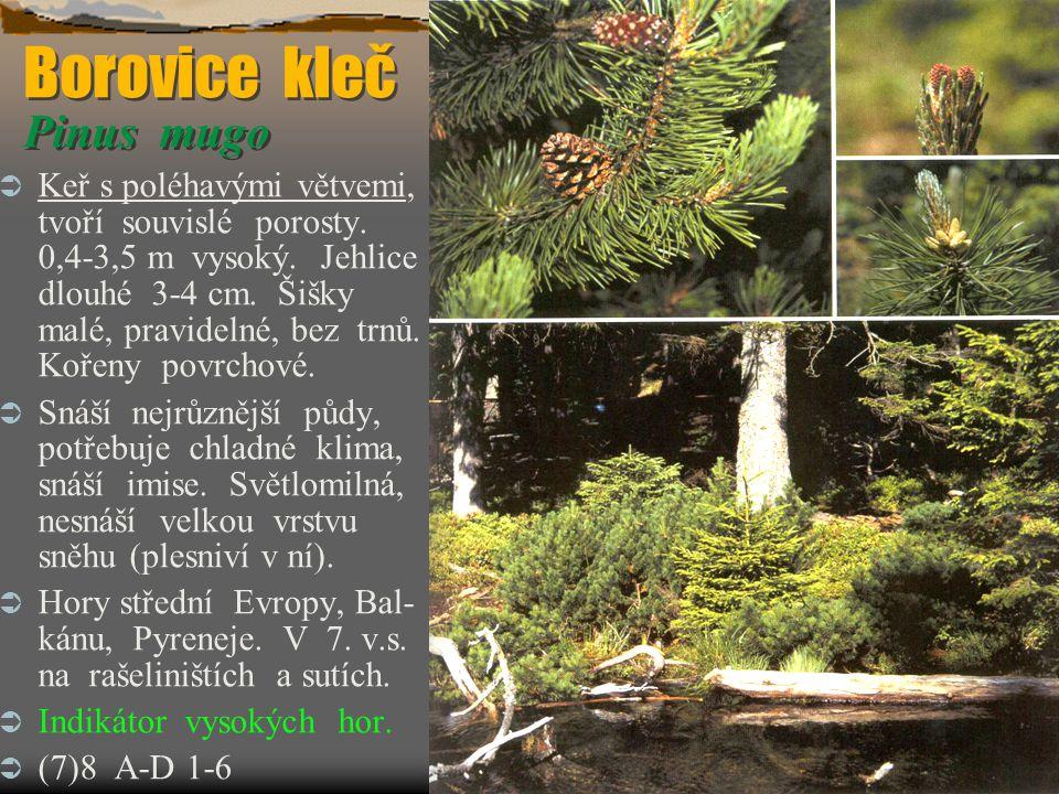 Borovice kleč Pinus mugo