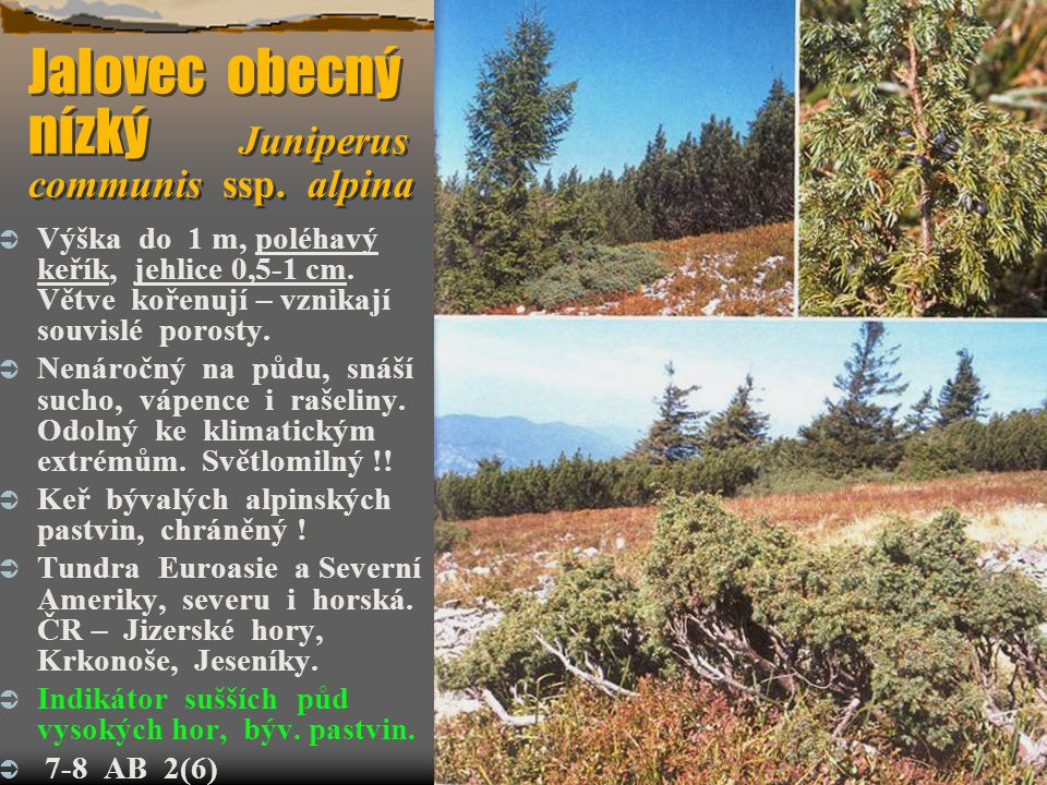 Jalovec obecný nízký Juniperus communis ssp. alpina