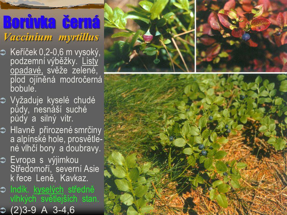 Borůvka černá Vaccinium myrtillus