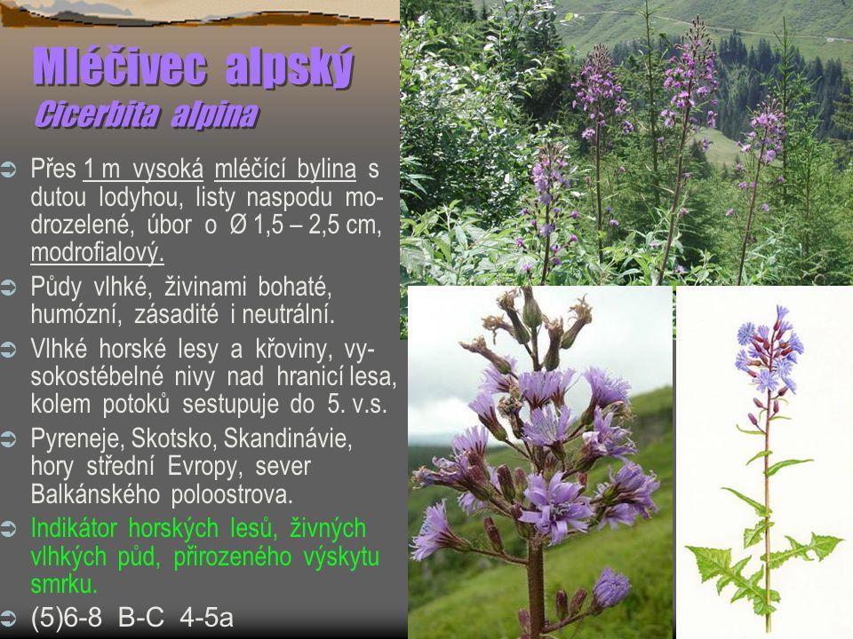 Mléčivec alpský Cicerbita alpina
