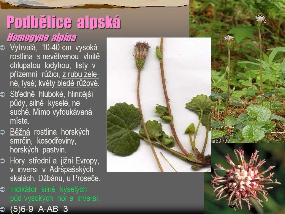 Podbělice alpská Homogyne alpina