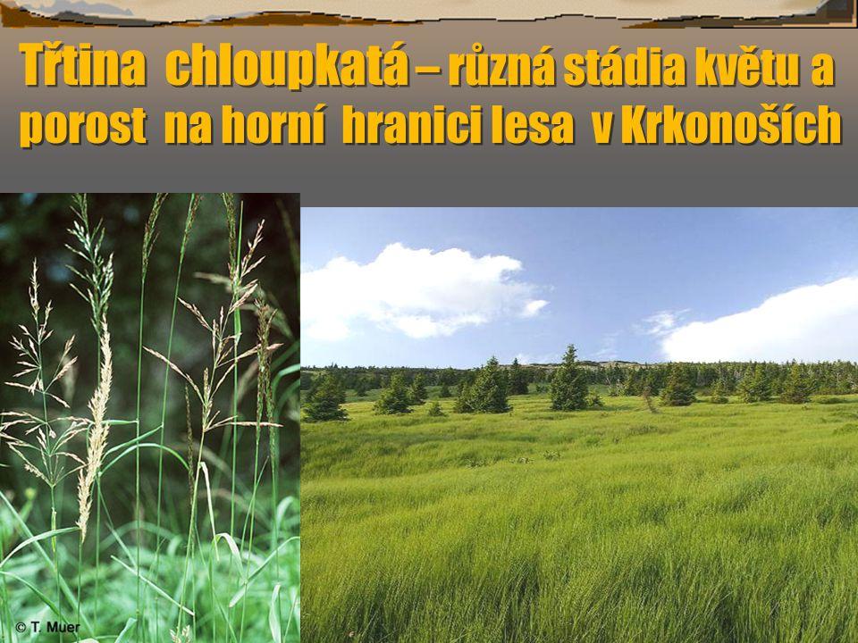 Třtina chloupkatá – různá stádia květu a porost na horní hranici lesa v Krkonoších