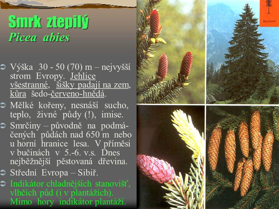 Smrk ztepilý Picea abies