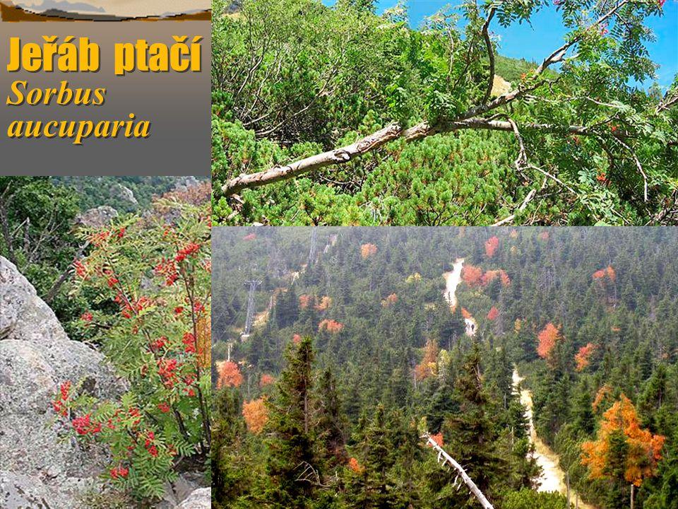 Jeřáb ptačí Sorbus aucuparia