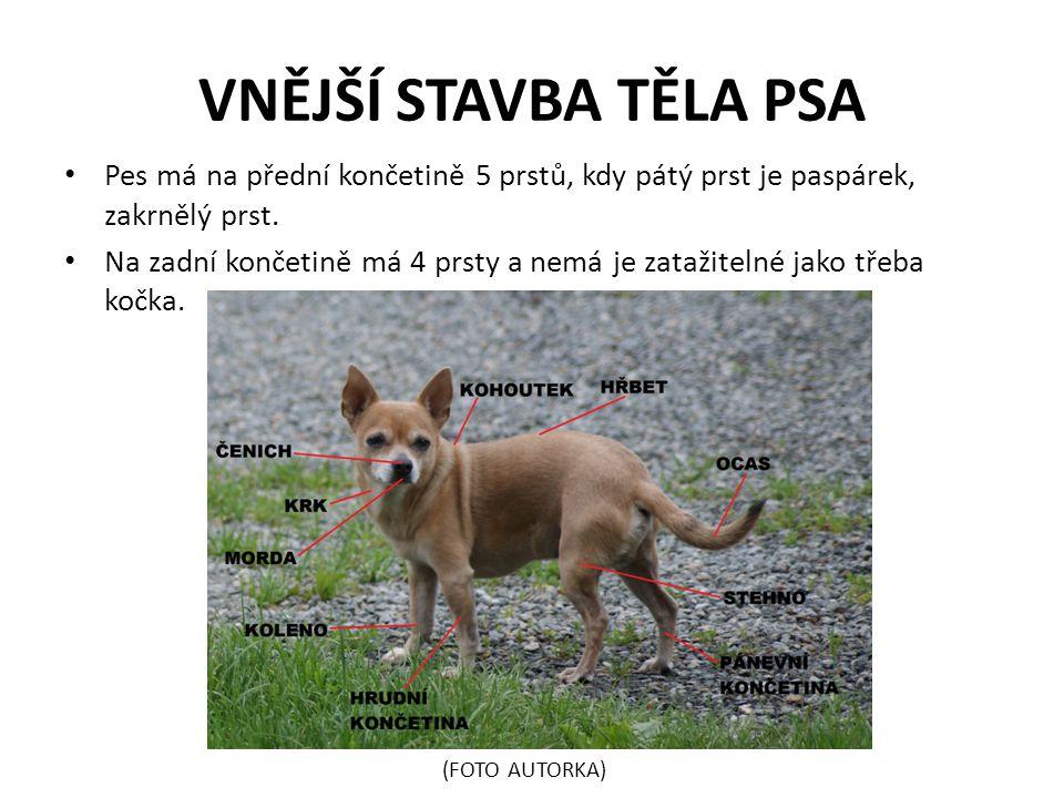 VNĚJŠÍ STAVBA TĚLA PSA Pes má na přední končetině 5 prstů, kdy pátý prst je paspárek, zakrnělý prst.